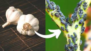 Insecticide Naturel : 6 Recettes Faciles
