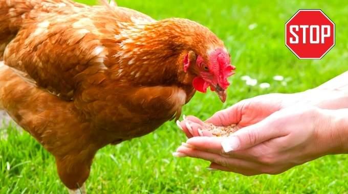 Poules : 25 Aliments Interdits à Ne Jamais Leur Donner !