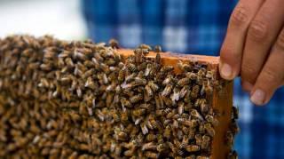 A cuba les abeilles sont en pleine forme