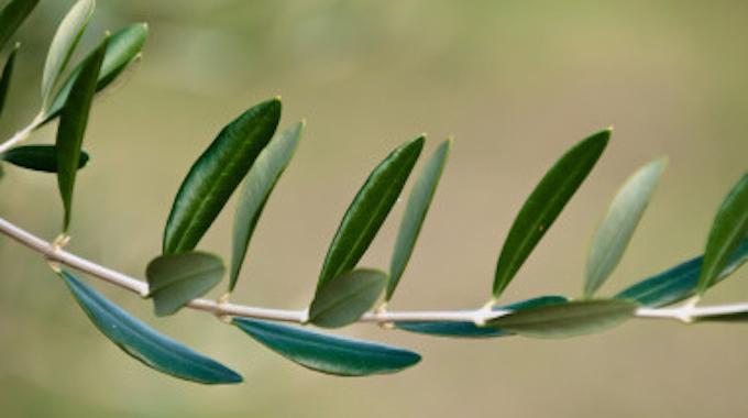 La feuille d olivier l 39 antibiotique miracle que personne ne conna t - La table d olivier illkirch ...