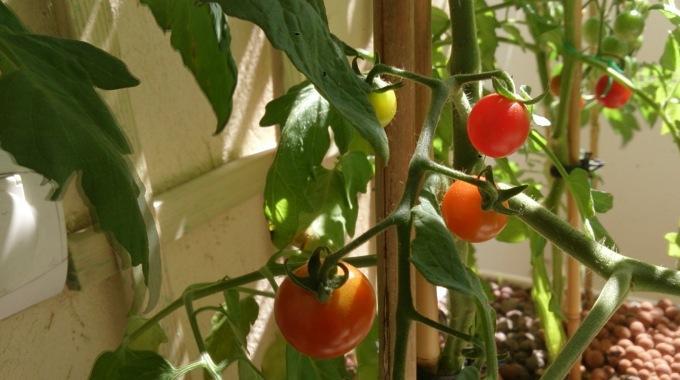 Comment faire pousser de belles tomates 100 naturelles - Faire pousser des graines de poivrons ...