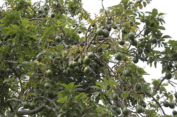 Savez vous quoi ressemblent vos fruits et l gumes pr f r s quand ils poussent - Sur quoi pousse les ananas ...