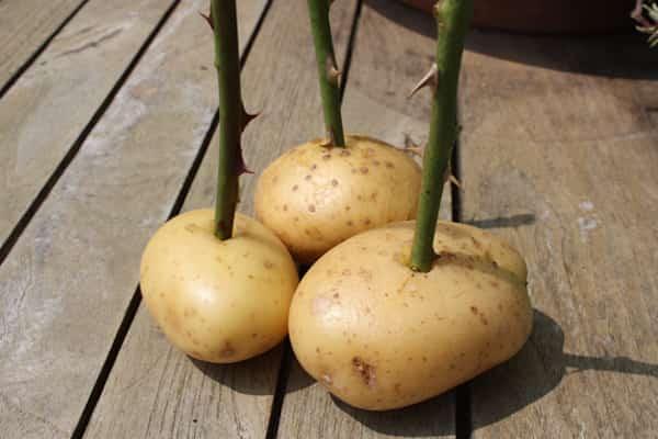 bouturer rosier avec pomme de terre