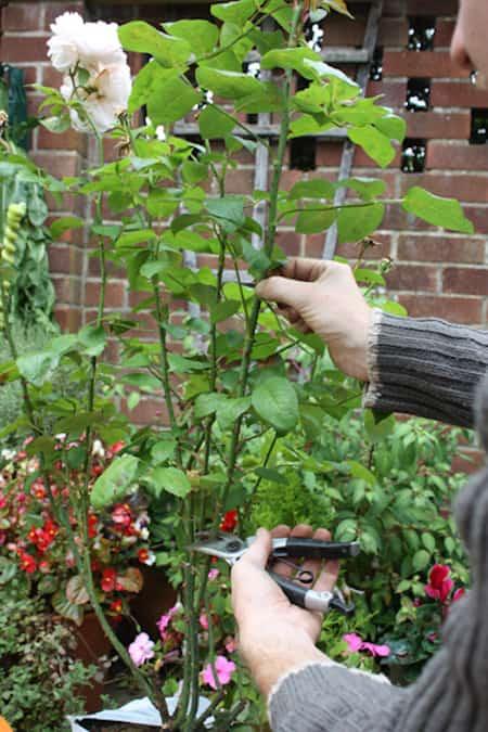 faites pousser de beaux rosiers en plantant les boutures dans des patates. Black Bedroom Furniture Sets. Home Design Ideas