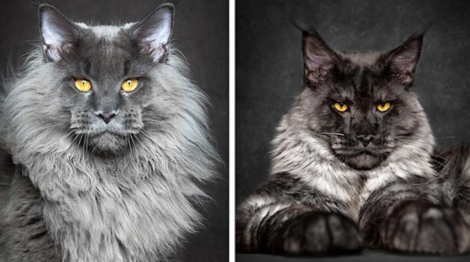 12 Portraits Majestueux d'un Chat Mythique et Rare : le Maine Coon.