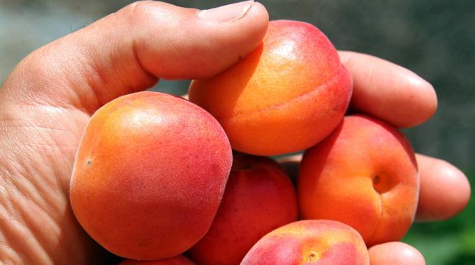 comment choisir un abricot m u00fbr
