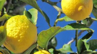 citron arbre