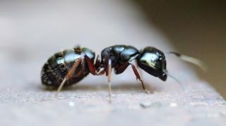 combattre-fourmis-naturellement