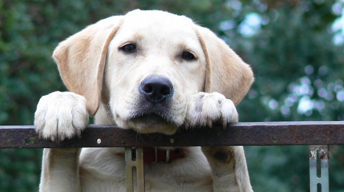 Comment Calculer Age Chien quel Âge a votre chien en Âge humain ? voici le tableau de