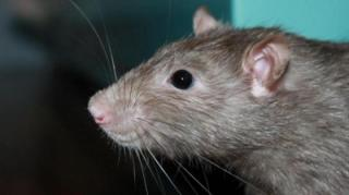 comment-chasser-rats-naturellement