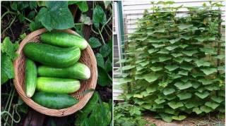 comment cultiver concombre verticalement