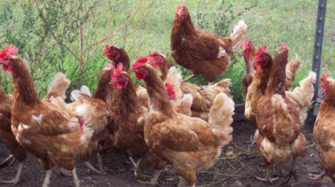 comment enlever poux des poules