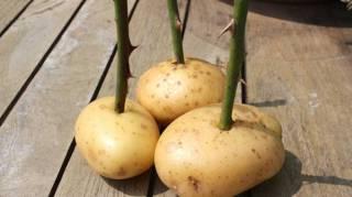 Comment faire pousser bouture de rosier avec une patate