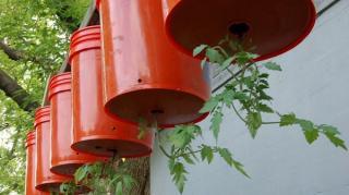 comment faire pousser tomates à envers
