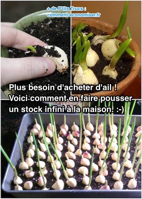 comment planter de l'ail