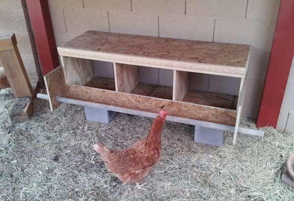 poule devant son nichoir neuf