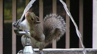écureuil fontaine