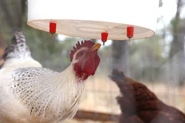 10 Astuces Pour Votre Poulailler Que Vos Poules Vont Adorer