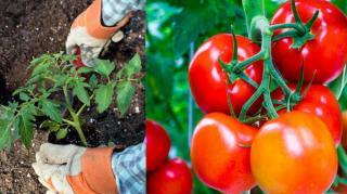 faire pousser tomate engrais naturel