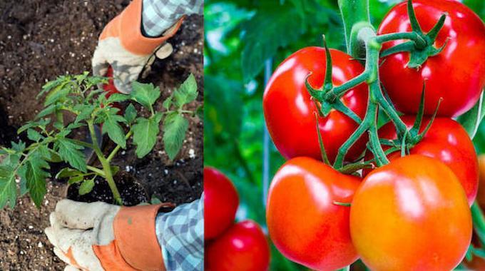 mettez ces 8 ingr dients dans la terre pour faire pousser de superbes tomates. Black Bedroom Furniture Sets. Home Design Ideas