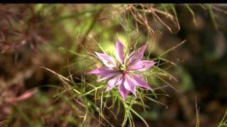 Fleur Nigelle