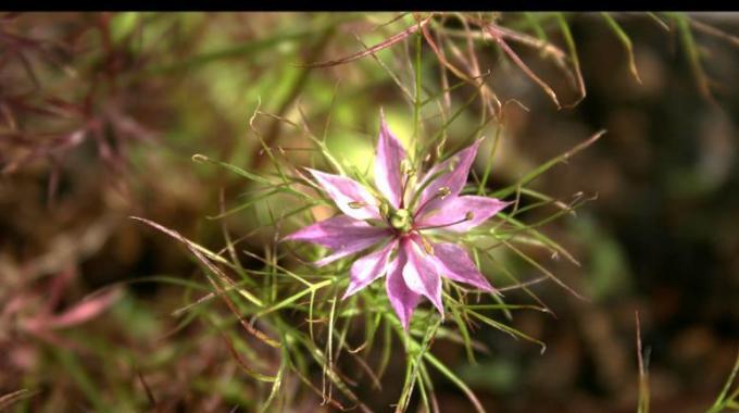 La nigelle la plante aux mille vertus qui soigne tout for Plante nigelle