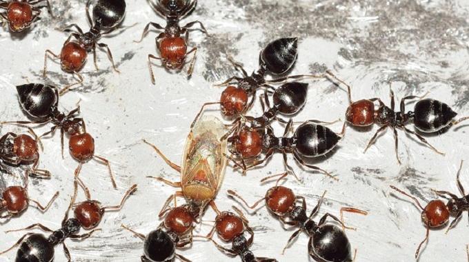 comment lutter contre les fourmis dans la maison. Black Bedroom Furniture Sets. Home Design Ideas