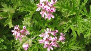 geranium-anti-moustiques-naturel