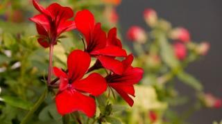 geranium-moustiques
