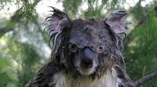 koala noyé