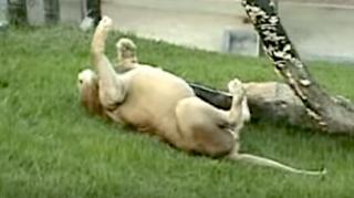 lion captivité sent herbe sous pattes