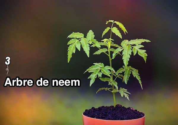 un arbre de neem dans un pot rouge