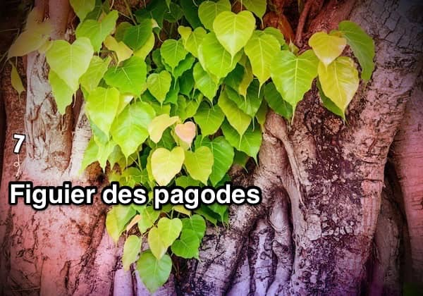 des feuilles de figuiers des pagodes sur un tronc