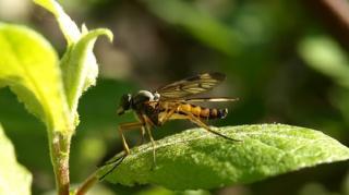 plante-neptune-moustiques