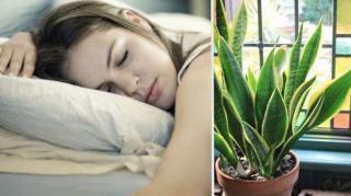 plantes qui vous aident à dormir