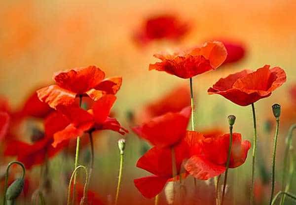 comment cultiver coquelicot