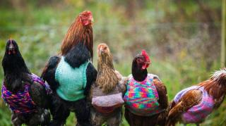pull over pour poules batterie
