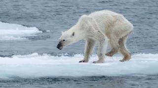 réchauffement climatique conséquences ours polaire