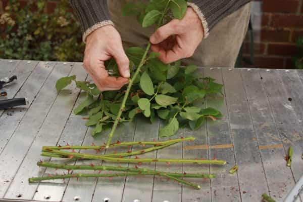 Faites pousser de beaux rosiers en plantant les boutures dans des patates - Comment planter des patates ...