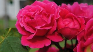 rosier-engrais