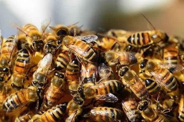 les abeilles prospèrent aussi sur l'ile d'ouessan