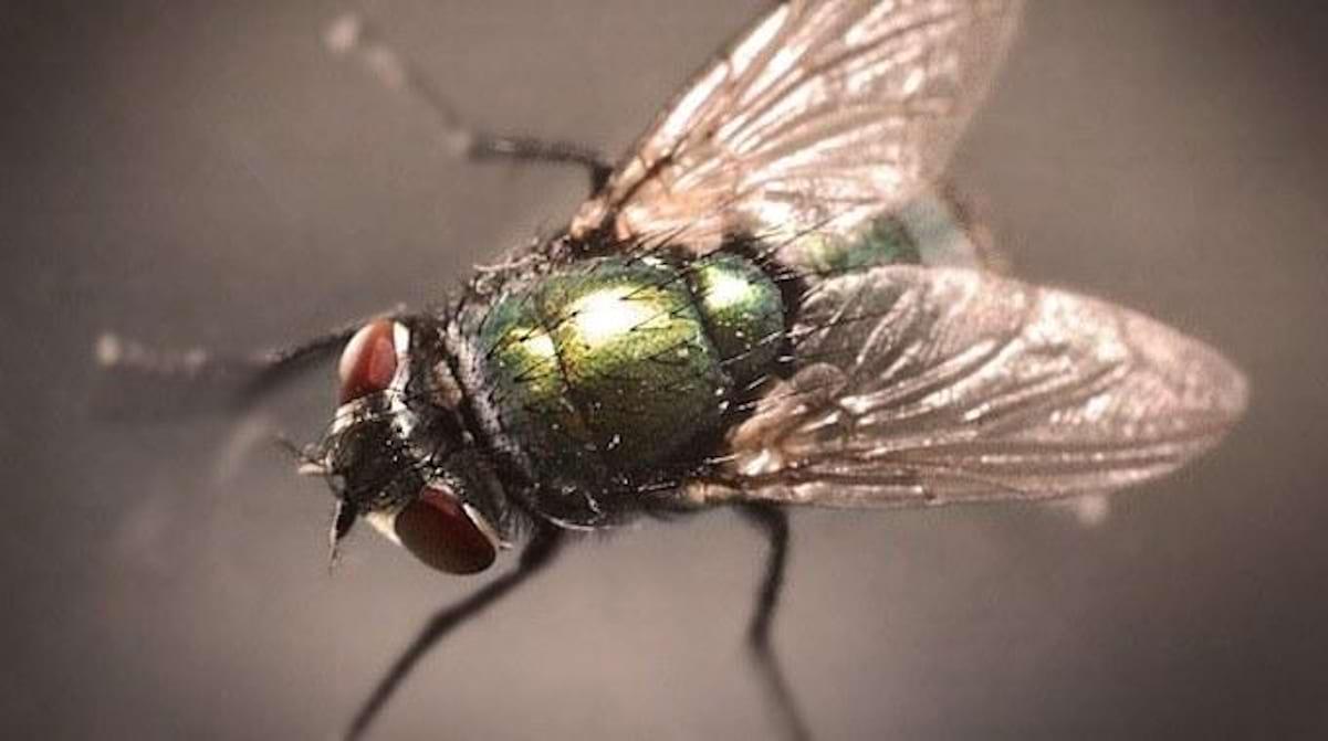 Comment Se Débarrasser De Moucherons Naturellement 13 astuces naturelles pour chasser les mouches définitivement.