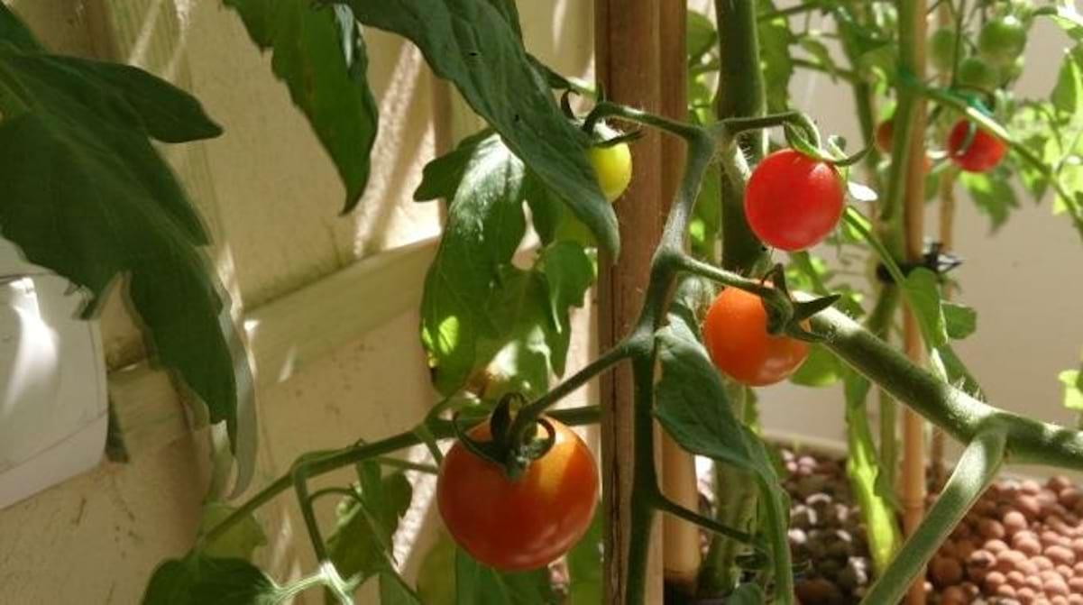 Faire Pousser Tomates En Pot comment faire pousser de belles tomates 100 % naturelles.