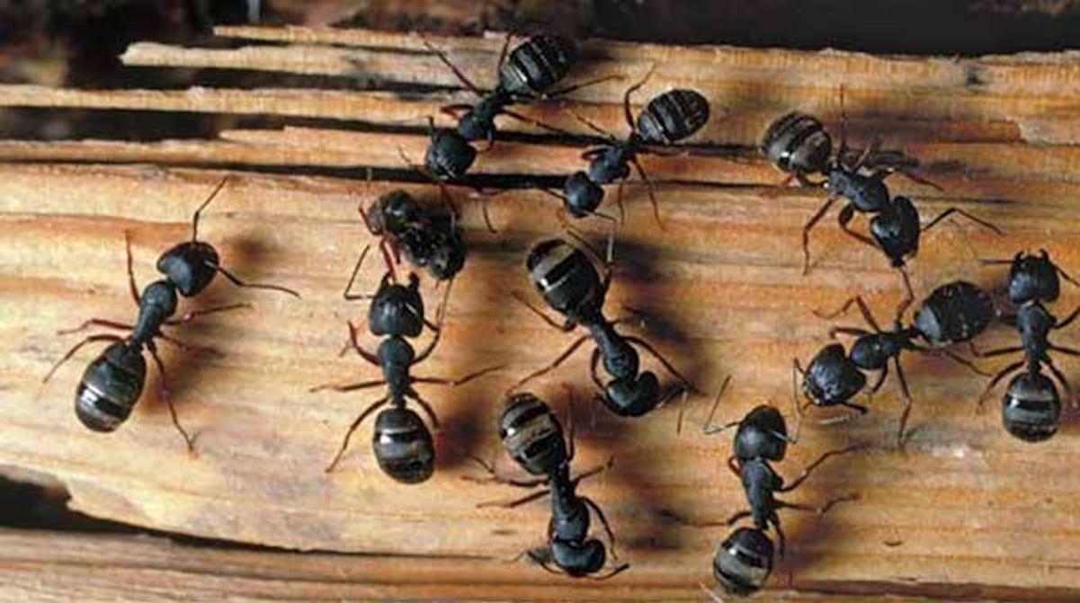Comment Éloigner Les Fourmis Naturellement le repulsif efficace pour chasser les fourmis de la maison.