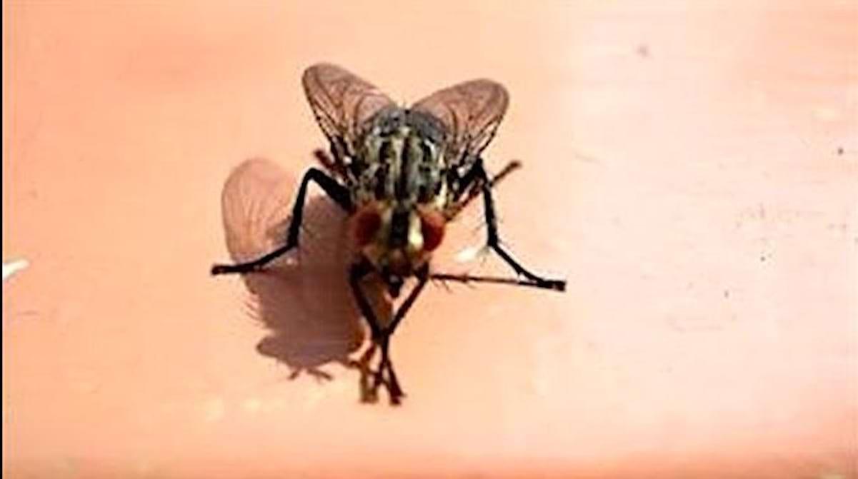 Comment Éloigner Les Mouches À L Extérieur l'astuce pour ne plus avoir de mouches qui tournent autour