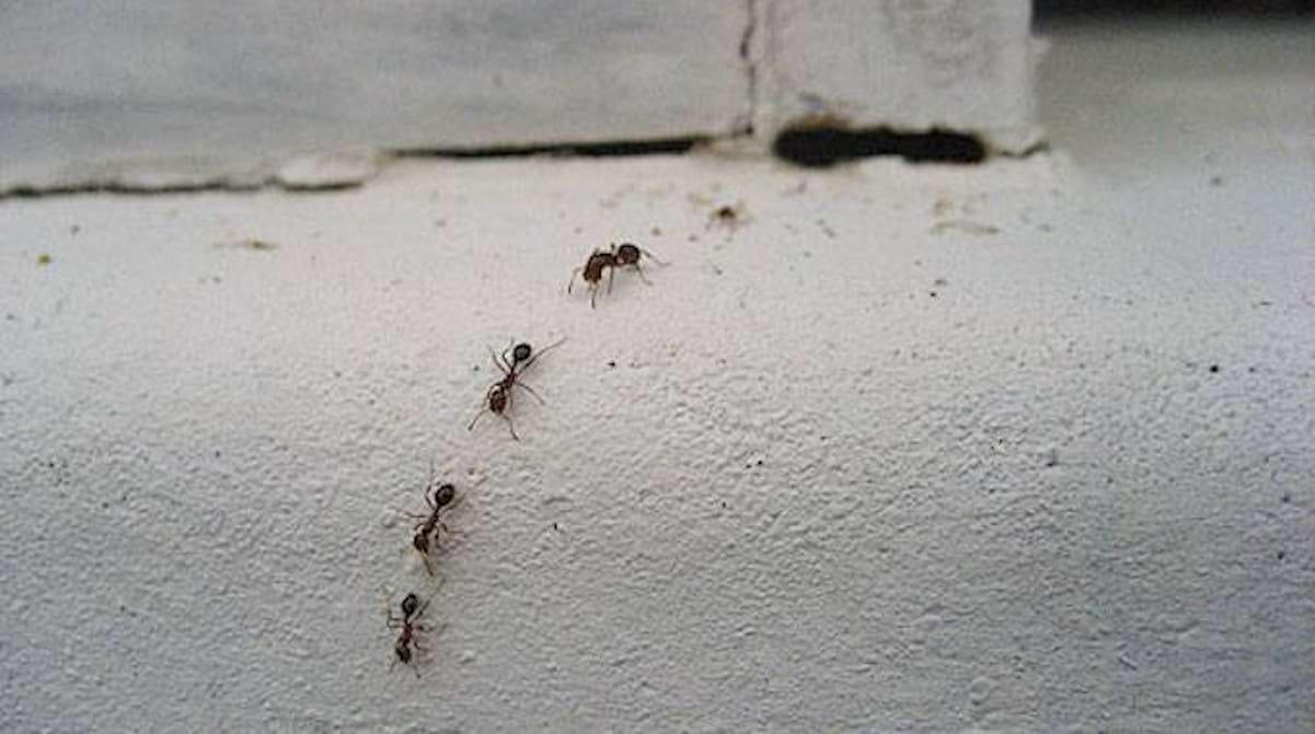 Comment Éloigner Les Fourmis Naturellement les 3 meilleurs répulsifs contre les fourmis (simples et