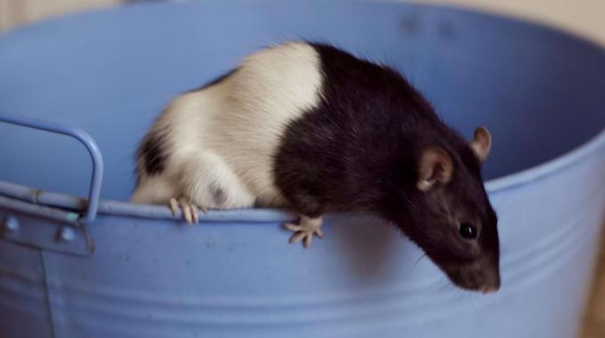 Souris Dans Les Murs Comment Faire les 3 meilleures astuces pour repousser ou Éliminer les rats