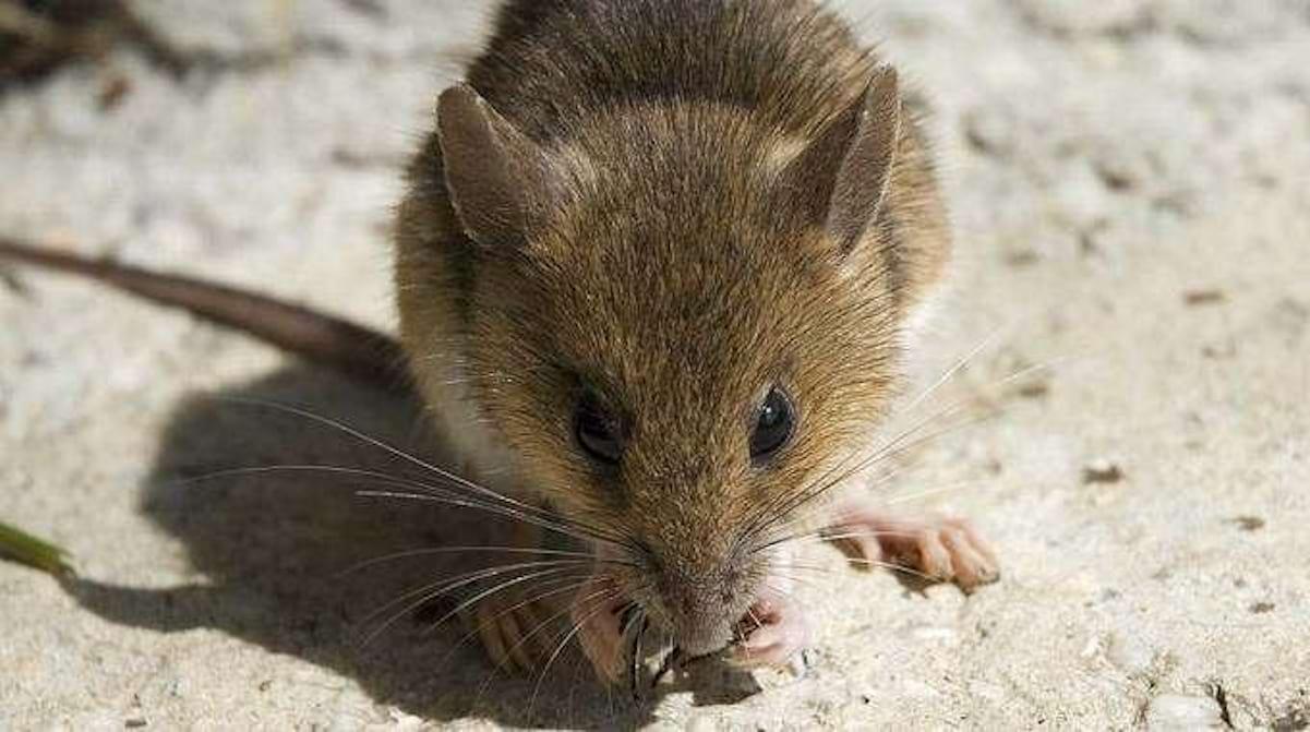 Souris Dans Les Murs Comment Faire comment repousser les souris naturellement ? voici 3 astuces